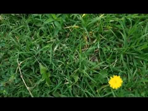 Man Vs nature - Dandelion