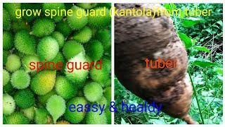 Grow Spine Guard Or Kantola ,janglee Karela From Tuber By Tech Plant With Chinu