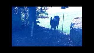 Deer Eats Bird Seed in Suburban Front Yard