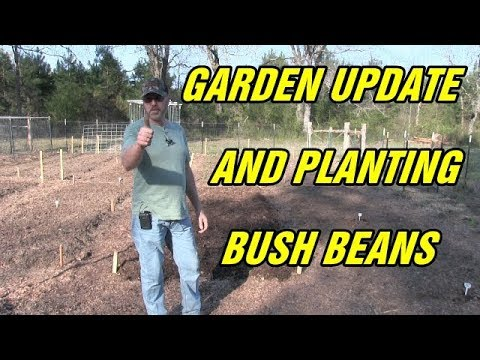 Inoculating and planting bush beans and garden update