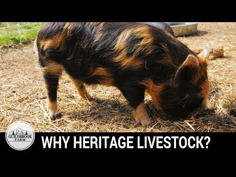 Why We Raise Heritage KuneKune Pigs and Dorking Chickens