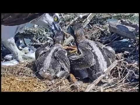 Tiny tail feathers on osprey chicks  May 27, 2017