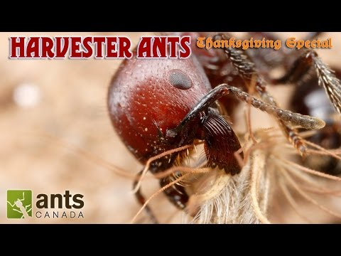 A BEARDED ANT?!!! | Harvester Ants (Thanksgiving Special Part 2)
