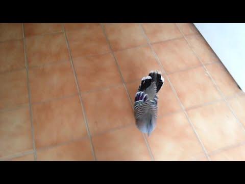 Pigeon Tries to Seduce Woman || ViralHog