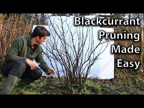 How to Prune Blackcurrant Bushes