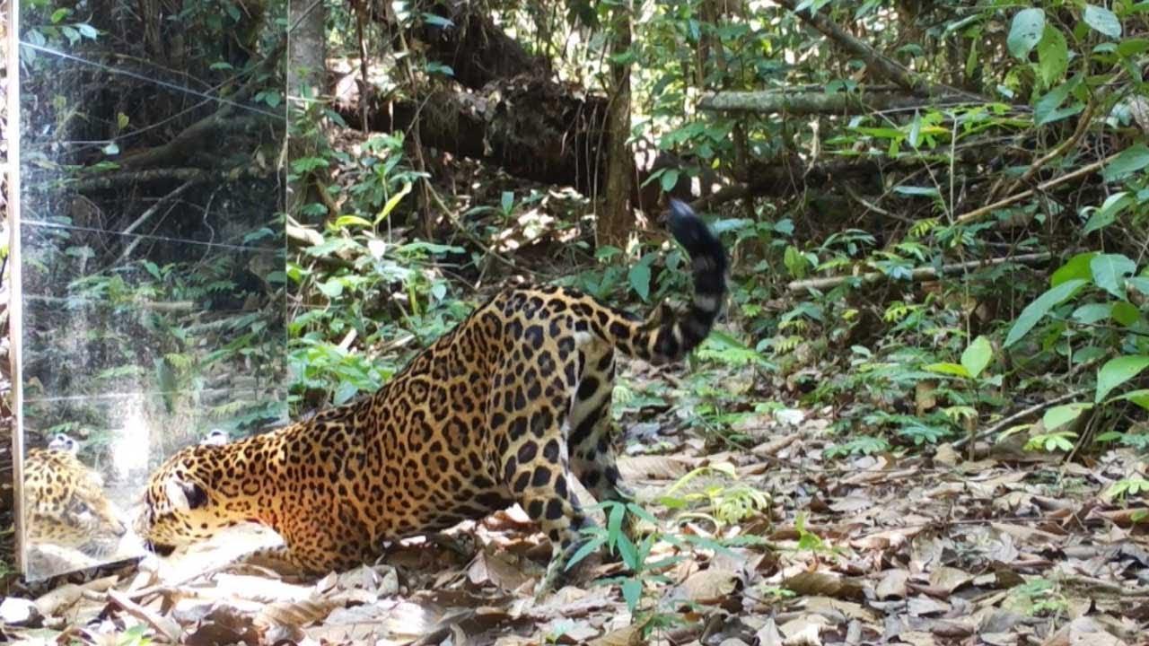 Rainforest Mirror Scares Passing Wildlife