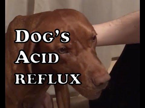 Dry cough - Acid reflux in dogs | Reflujo en perros