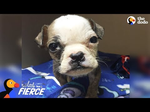Tiniest Rescue Puppy Grows Up To Be a Big Boss Bulldog - HOPELILY | The Dodo Little But Fierce