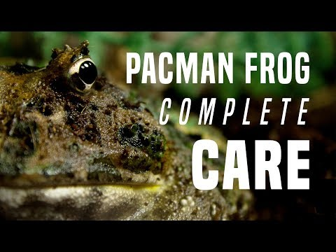 Pacman Frog Care Guide: Everything You Need To Know!