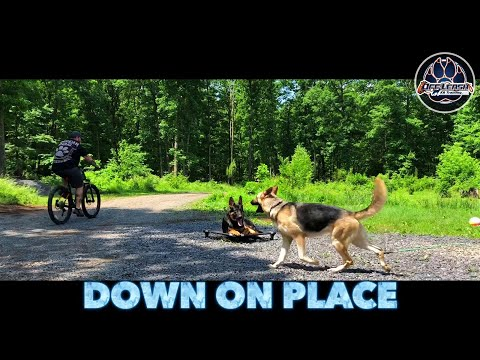 GSD Odin   Confidence   Obedience   Stability   Northern Virginia  Dog Trainers
