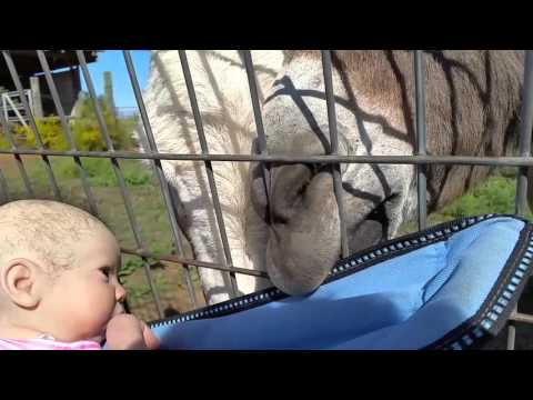 Reborn Baby Feeds Miniature Donkeys