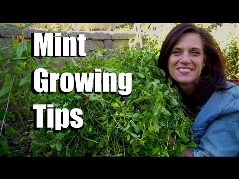 Growing Mint-  3 Three Easy Tips