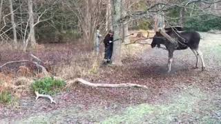 Man Rescues Moose Trapped in a Tree in Small Swedish Town