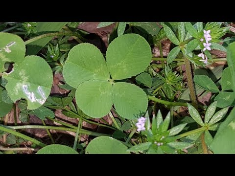 First Four-Leaf Clover for 2018 Found on St. Patrick's Day