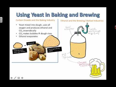Using Yeast in Baking and Brewing (2016) IB Biology