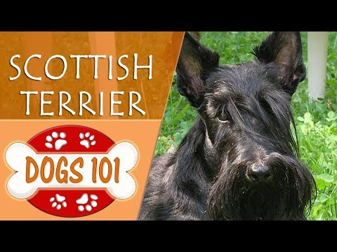 Dogs 101 - SCOTTISH TERRIER - Top Dog Facts About the SCOTTISH TERRIER