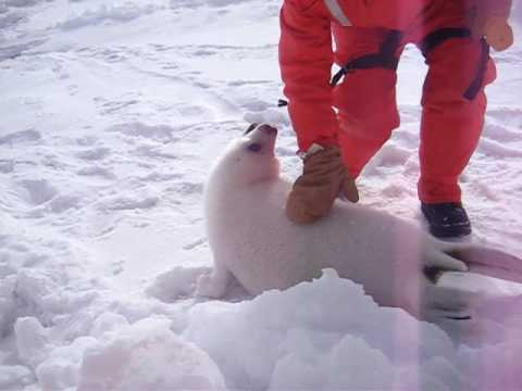 Baby seal squeals