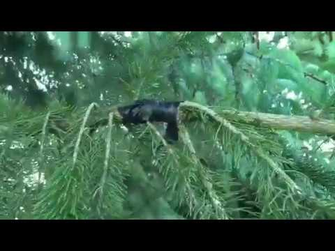 How to mend a broken tree branch with wed trimmer line and electrical tape.