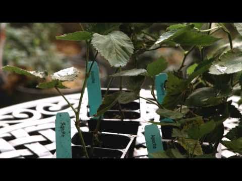 Container Gardening: How to Plant Blackberries