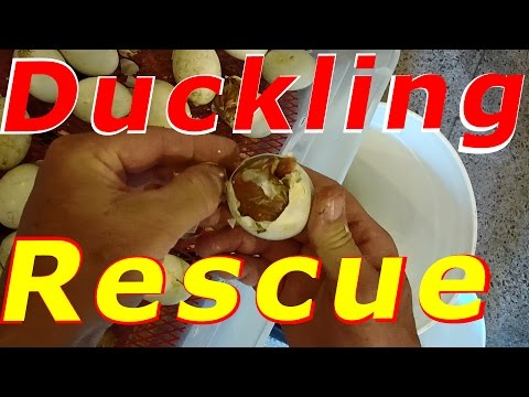 Saving Ducklings Emergency Hatch Rescue #41 Hatching Duck & Goose Eggs