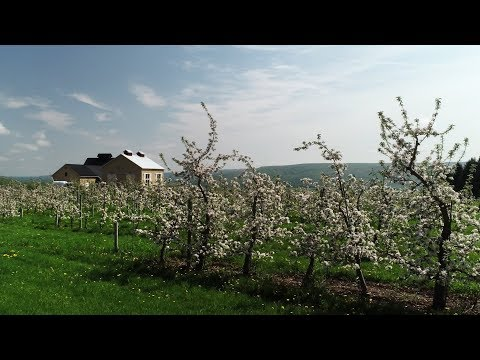 Soar through a NY apple orchard as bees pollinate the trees