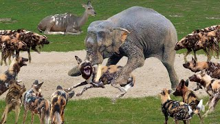 Wild Dogs Hunting Kudu! Unbelievable Herd of Elephant Chasing Wild Dogs Save Antelope Kudu Success