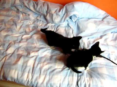 kittens rough housing and falling of bed