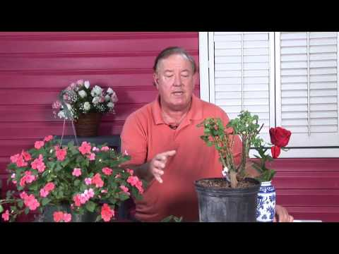 Growing Roses : How to Overcome Fungus Diseases in Roses