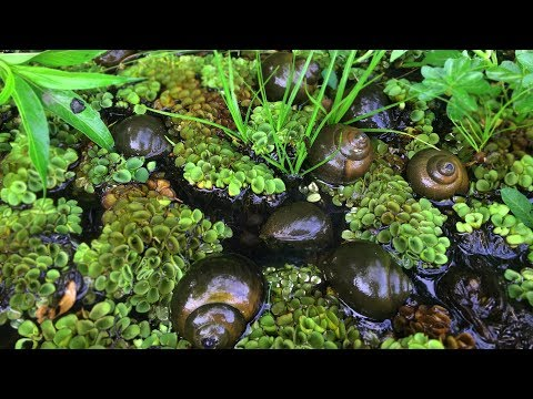 Finding snail in the lake | Found a hive of snails in the jungle lake | Cambodia Traditional Life