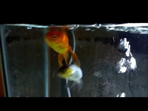 Happy Oranda Goldfish