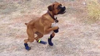 Funny Dogs in Boots for the First Time Compilation 2014