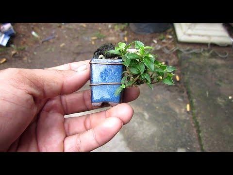How to grow beautiful bonsai mini
