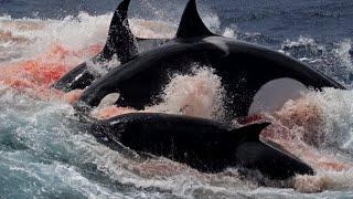 Orca vs Cachalote | EPIC VERSUS