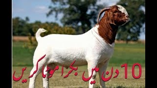 Gulabi bakra Qurbani | rajanpuri goat farm | world no 1