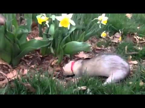 Ferrets Digging in the Mulch