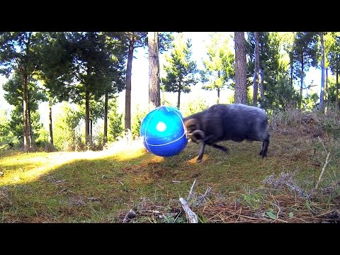 Angry Ram in the forest with his giant tetherball