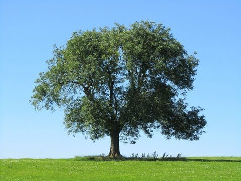 Ash Tree Identification - how to spot an Ash Tree