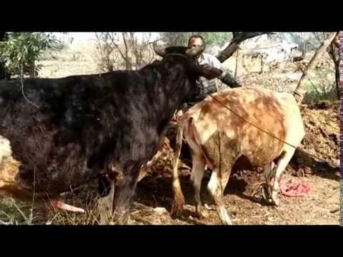 Xxx Mp4 Amazing Breeding Cow In My Country Cow Breeding In My Village Is Amazing 3gp Sex