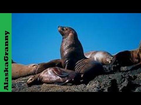 Sea Lion Males Fighting Alaska Kenai Fjords National Park Seward Alaska