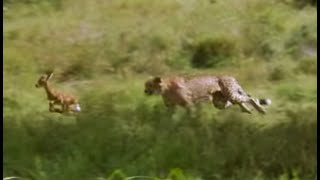 Young cheetahs attack young antelope | Cheetahs | Fast Track to Freedom | BBC