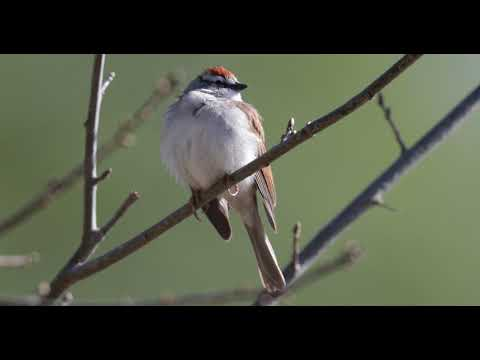 Chipping Sparrow March 22nd 2018 Grady High School