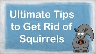 How To Get Rid Of Squirrels Ultimate Repellent For Getting Rid Of Squ