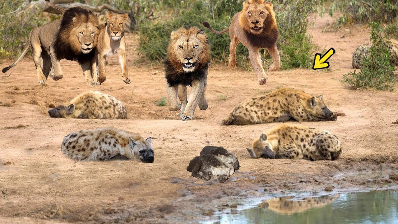 OMG! King Lion destroy Hyena cubs stupid go into his territory! Epic battle of King Lion Vs Hyena