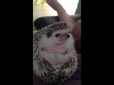 Happy Hedgehog Eating Beef Jerky