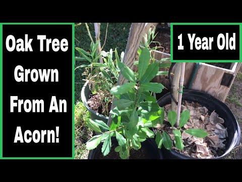 Oak Tree Grown From An Acorn