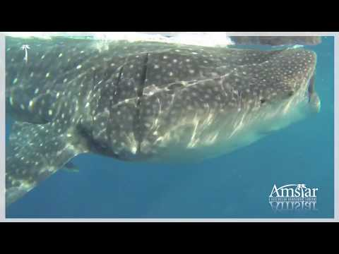Whale Shark Adventure Tour | Amstar Mexico