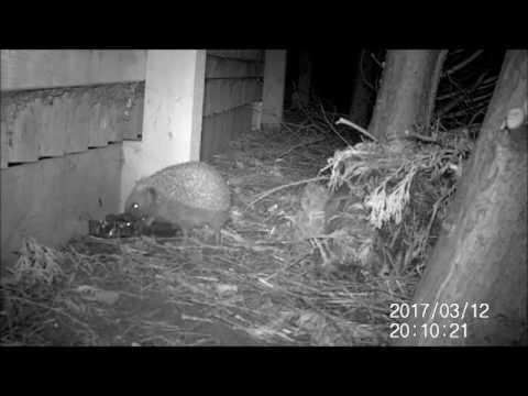 Hedgehog coming out of hibernation - Spring 2017