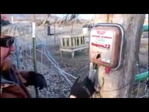 TRAINING GOATS WITH ELECTRIC FENCE