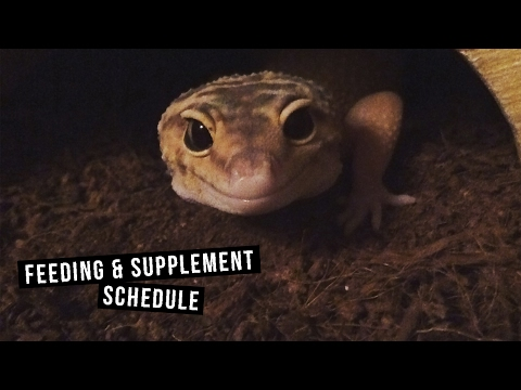 Leopard Gecko Supplement & Feeding Schedule!