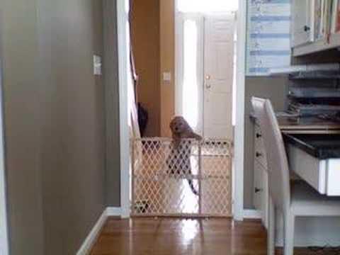 Puppy Jumps Gate